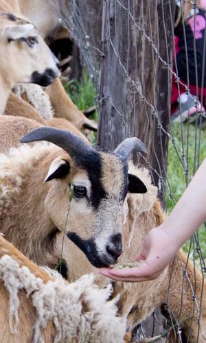 Barbados Sheep - Spokane Valley Archery
